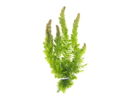 Aquatic Arts Live Hornwort Plant - 2 Extra Large Bunches of Pond Plants Over 10 Stems
