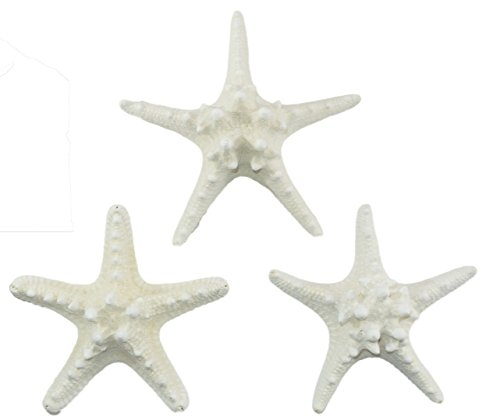 US Shell, 3 Piece, White Armoured Starfish, 5 to 6 inch