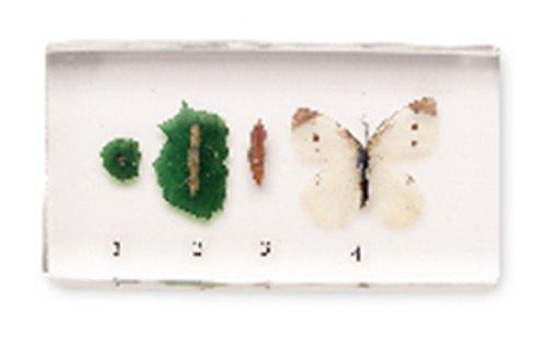 NatureBlocks Acrylic Block Life Cycle Display: Butterfly