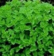 Herb Seeds - Oregano - 12,000 Seeds