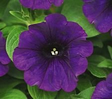 (Four O'Clock Mix 50 Seeds Beautiful Bright Colored Trumpet Shaped)