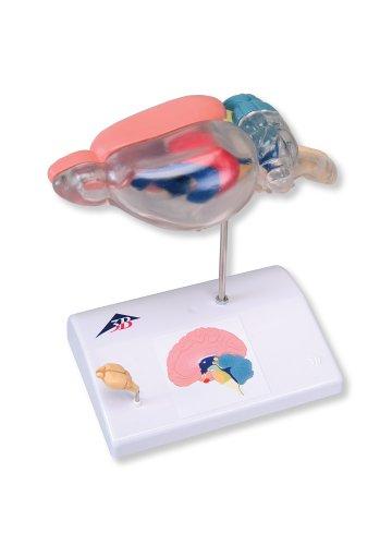 ラットの脳比較解剖モデル   B001DYO9L8