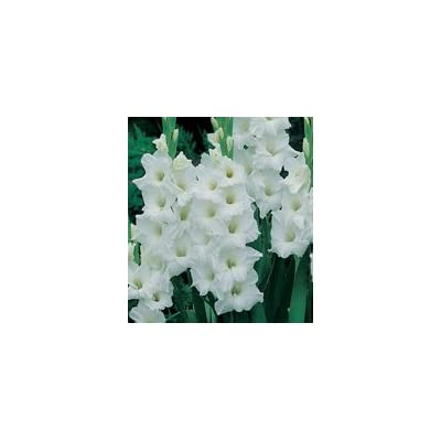 Made and Shipped in USA, Large Bulbs (20) Fresh, New, Soloist, White Flowering Gladiolus Bulbs, Plants, Flowers, Flowering Perennials, Sword Lily, Gladioli-SeedsBulbsPlants&More : Garden & Outdoor