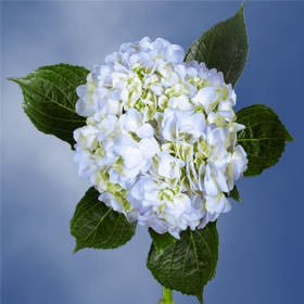 GlobalRose 20 Fresh Cut Blue Hydrangeas - Fresh Flowers For Weddings or Anniversary. by GlobalRose (Image #6)