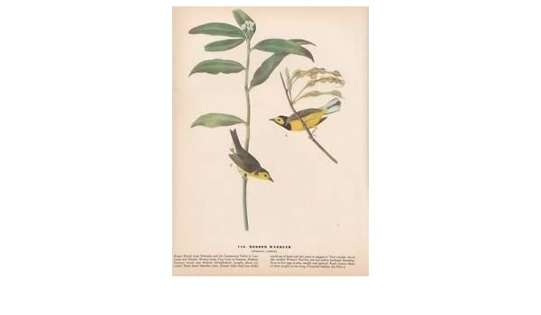 "1942 Vintage AUDUBON BIRDS #110 /""HOODED WARBLER/"" Color Art Plate Lithograph"