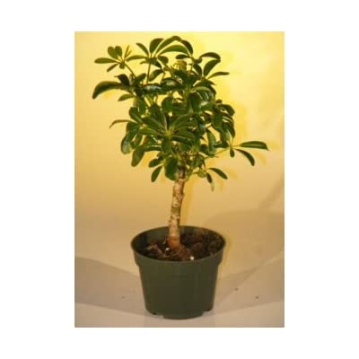 Pre Bonsai Hawaiian Umbrella Bonsai Tree - Small : Grocery & Gourmet Food