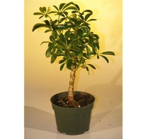 Amazon Com Pre Bonsai Hawaiian Umbrella Bonsai Tree Small Grocery Gourmet Food