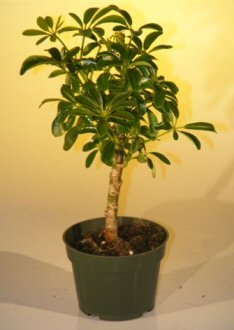 Umbrella Plant - Pre Bonsai Hawaiian Umbrella Bonsai Tree - Small