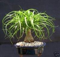 Palm Bonsai ()