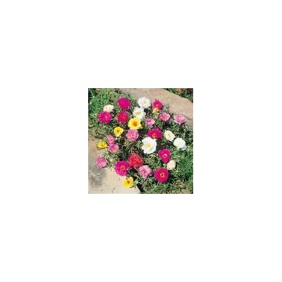 100 Portulaca Double Moss Rose Seeds : Garden & Outdoor