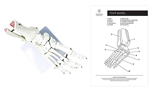 Human Foot Skeleton Anatomy Model Life Sized by Trademark Scientific