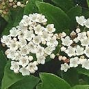 Viburnum tinus EVERGREEN SHRUB Seeds!