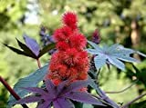 The Dirty Gardener Ricinus Communis Castor Bean Shrub - 25 Seeds
