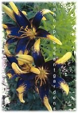 Tango Lily (1-bulb[12cm/14cm] TANGO LILY~BLACK AND YELLOW~FLOWER BULBS 42