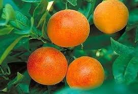 (2-3 Year Old (2-3 Ft) Moro Blood Orange Tree)