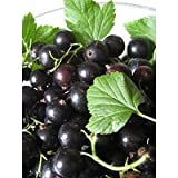 "-Bulk- BLACK CURRANT ""Makes delicious Jams, Jelly, Wine or Brandy 250-Perennial Seeds"