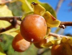 (Date Plum Persimmon Fruit Tree, 30+ Premium Quality Tree Seeds, Exotic & Rare, 80% Germination, (Isla's Garden Seeds), Non GMO, Highest Quality!)