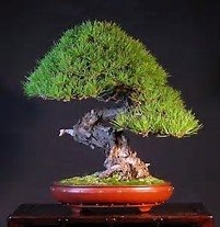 15 Seeds Chinese Red Pine Bonsai Tree (Pinus tabulaeformis)