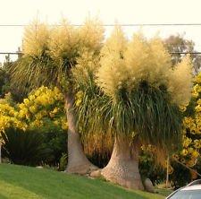 , elephant foot ponytail palm caudex bonsai plant 2