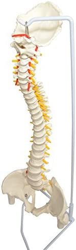 MedianField 【 脊椎骨盤模型 実物大 90cm スタンド付き 】骨盤 股関節付き 模型 関節 実物 (脊髄 模型)