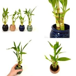 (Live 3 Style Party Set 4 Lucky Bamboo Plant Arrangement Ceramic Vase Best Gift)