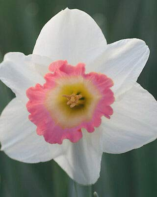 7 Pink Charm Daffodil Beautiful Blooms Flower Bulb Rare