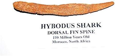 Hybodus Shark Dorsal Fin Spine Real Fossil 4.5 inch 8o (E)