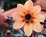 Mystic Memories Dahlia Flower Seeds Packaged with Instructions 50 Seeds