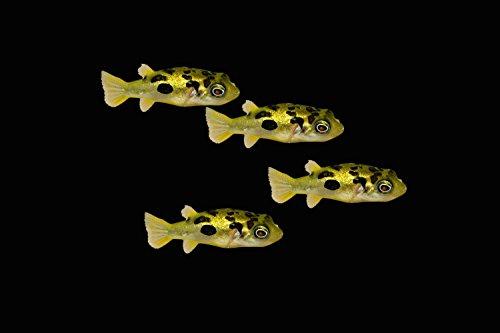 4 Exotic Indian Dwarf Puffer-Pea Dwarf Puffer Fish Freshwater Aquarium Fish by idfirst