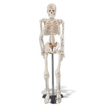 AWW WCP-1 Mr. Thrifty Skeleton, 33.5 in. - 85Cm