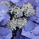 (1 Gallon) Nightingale Hydrangea Shrub -Gorgeous Indigo/Purple Flowers, Drought Tolerant, Hydrangeas, Viburnums, Japanese Maples, Dogwood Trees, Crape Myrtles, Gardenia-Gallon