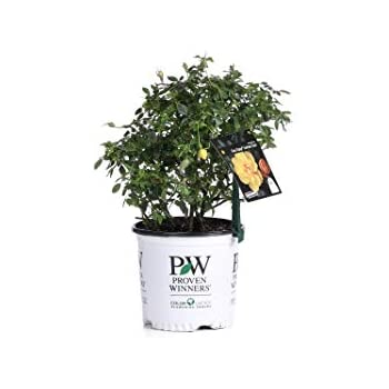1 Gal. Oso Easy Lemon Zest Landscape Rose (Rosa) Live Shrub, Yellow Flowers