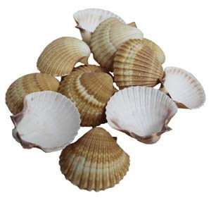 The Shell Connection Yellow Cup Mexican Deep Scallops 2½-3
