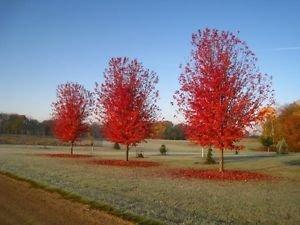 AUTUMN BLAZE MAPLE - Size: 3-4 ft, live plant, includes special blend fertilizer & planting guide - Autumn Blaze Maple Tree