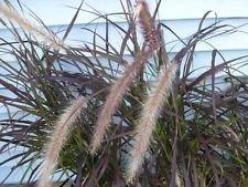 7 PURPLE FOUNTAIN GRASS ORNAMENTAL GRASSES LIVE PLANTS BLOOMS ()