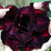 desert-rose-adenium-obesum-natural-bonsai-madagascar-5-seeds