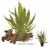 Java Fern - Microsorum pteropus - Live aquarium plant