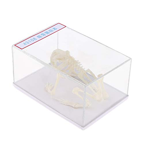 (CUTICATE 12.5x8.5x5 cm Frog Skeleton Anatomical Model Specimen with Dustproof Box, Kids Teaching and Learning Tools, Education Supplies)
