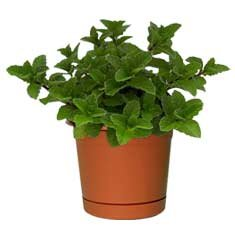 hierbabuena planta natural pequeña con maceta planta aromática y
