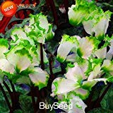 Big Sale!Green Edge White Cyclamen Flower Seeds Perennial Flowering Plants Cyclamen Seeds - 100 PCS/package,#F35HE6
