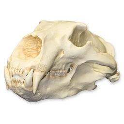 Polar Bear Skull (Teaching Quality Replica)