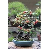 Bonsai Black Mulberry Tree - Large Thick Trunk - Fruit Bearing Indoor Bonsai Tree Cutting - No Roots - Detailed Easy Instructions Included - Bonsai Fruit Tree