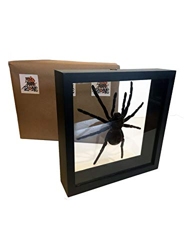 Real GOLIATH TARANTULA under glass for desk or wall. BEAUTIFUL and SCARY. Museum quality taxidermy animals. Stuffed spider is LASIODORIDES STRIATUS. For classroom, office, study. Unique novelty gift. ()