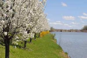 Amazon cleveland pear tree lots of white flowers fast cleveland pear tree lots of white flowers fast growing tree ships fast mightylinksfo