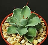 "Agave potatorum cv. Kissho Kan Rare Garden Succulent air Plant Bonsai 4"" Pot"