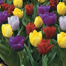sbt5prince-mix-tulipbulbsearly-easter-colors