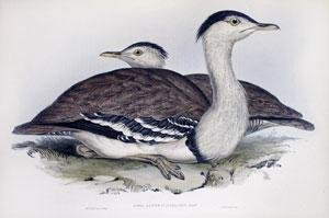 Otis Australasianus: Gould (Australian - Otis Australia