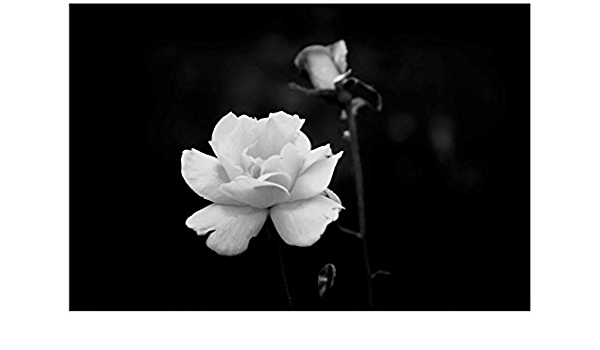 Amazon Com Trademark Fine Art Ata Alishahi White Rose Wall Décor 16 X 24 Posters Prints