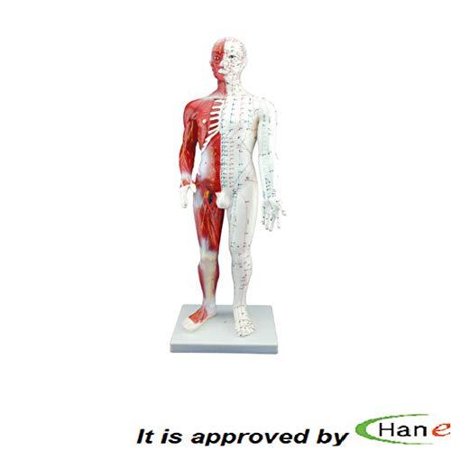[해외]직업적인 남성 모델을 가진 근육 해부학 해부학 모델 ACU 포인트 묘사 60cm / Professional Male Model with Muscle Anatomy Anatomical Model with ACU Points depicted 60cm