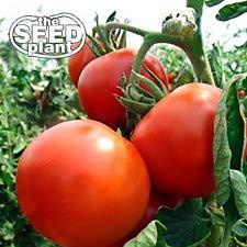 Rutgers Tomato Seeds - 250 Seeds - Non-GMO